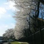 三鎮工業 桜 満開